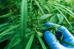 Déshumidification cannabis
